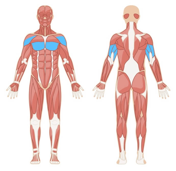 Muskelgruppen Dips